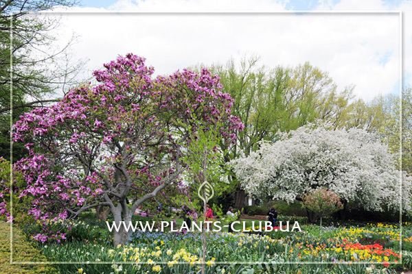 p-31165-magnolia_ricki_3.jpg