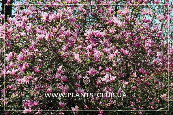p-31165-magnolia_ricki_4.jpg