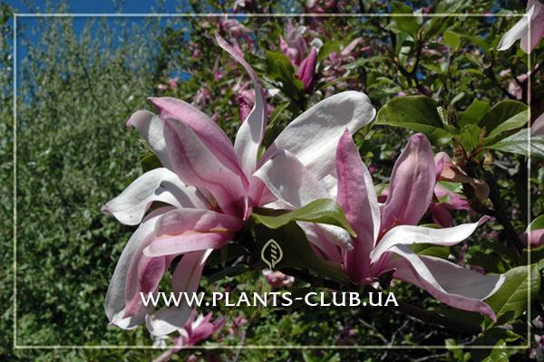 p-31165-magnolia_ricki_6.jpg