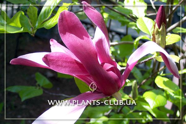p-31181-magnolia_liliiflora_nigra-2.jpg