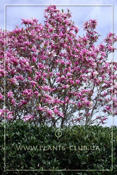 p-31181-magnolia_liliiflora_nigra.jpg