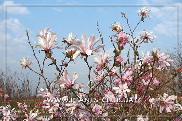 p-31193-magnolia_loebneri-leonard_messel-3.jpg
