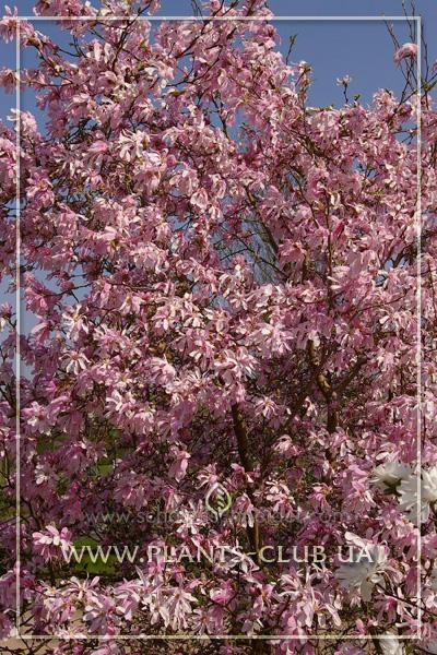 p-31193-magnolia_loebneri-leonard_messel-4.jpg