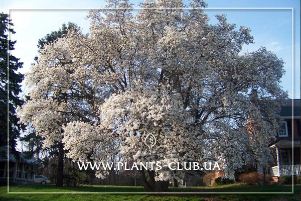 p-31203-magnolia-loebneri-merrill-2.jpg