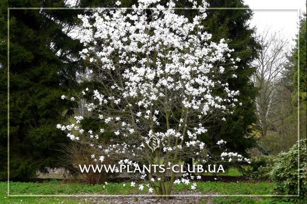 p-31203-magnolia-loebneri-merrill-3.jpg