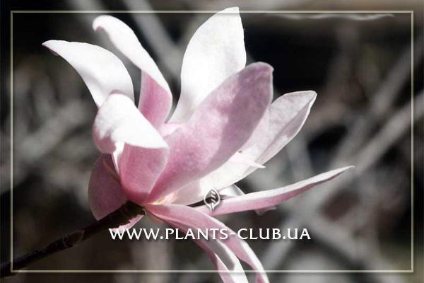 p-31212-magnolia-stellata-rosea-3.jpg