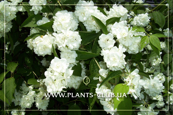 p-31256-philadelphus-bouquet-blanc-2.jpg