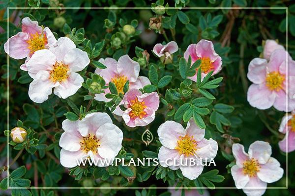 p-31302-potentilla-fruticosa-princess-2.jpg