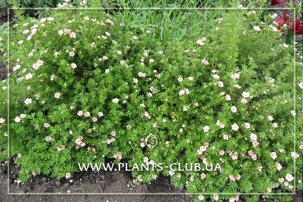 p-31302-potentilla-fruticosa-princess-3.jpg