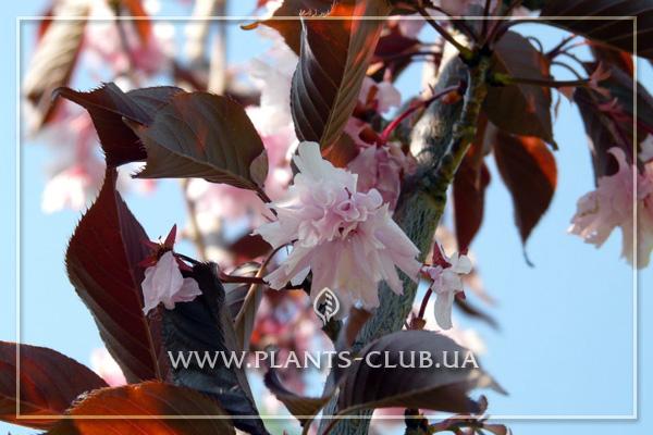 p-31350-prunus-royal-burgundy_3.jpg