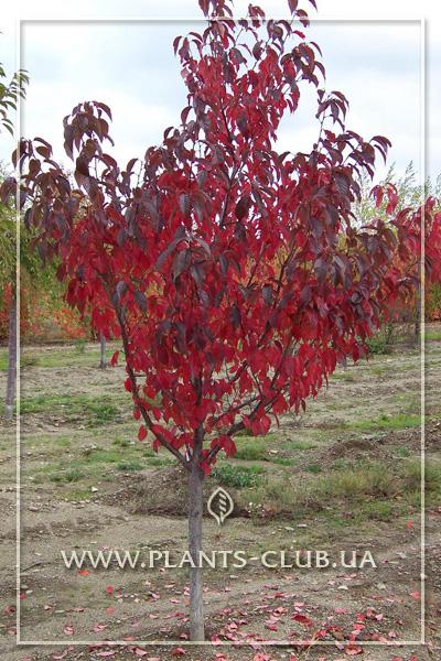 p-31350-prunus-royal-burgundy_4.jpg