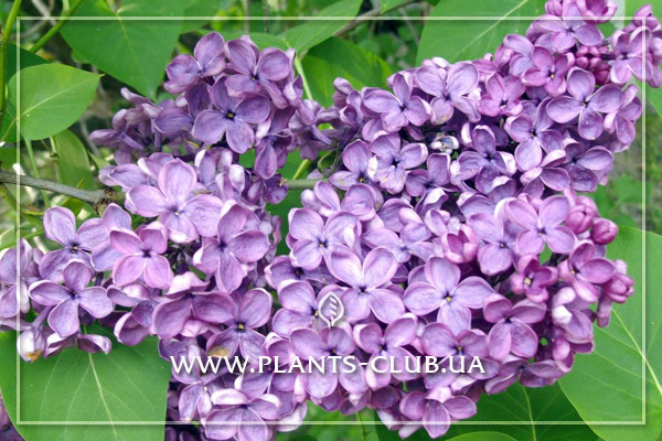 p-31550-syringa-vulgaris-massena.jpg