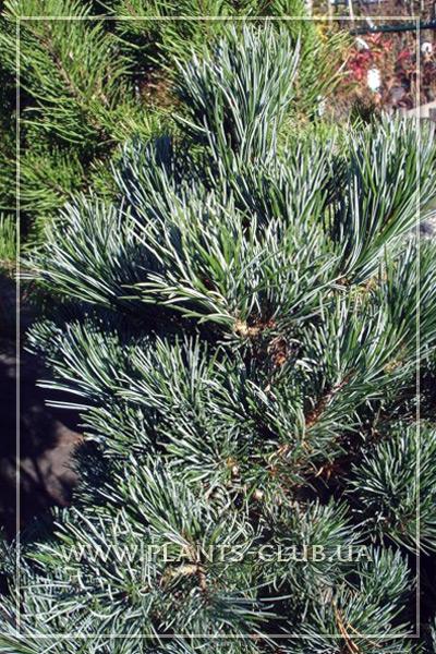 p-33324-pinus_parviflora_negishi_3.jpg