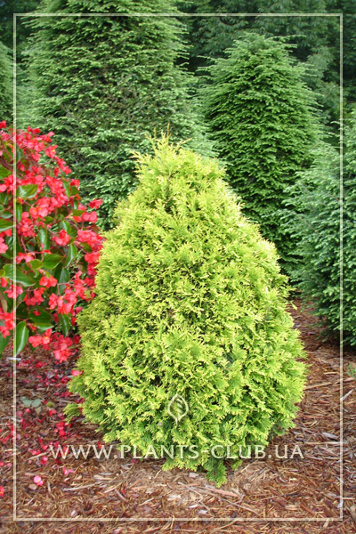 p-33812-thuja_occidentalis_yellow_ribbon_2.jpg