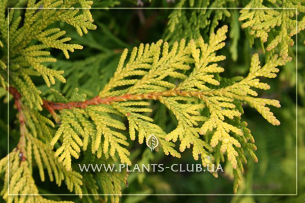 p-33812-thuja_occidentalis_yellow_ribbon_3.jpg