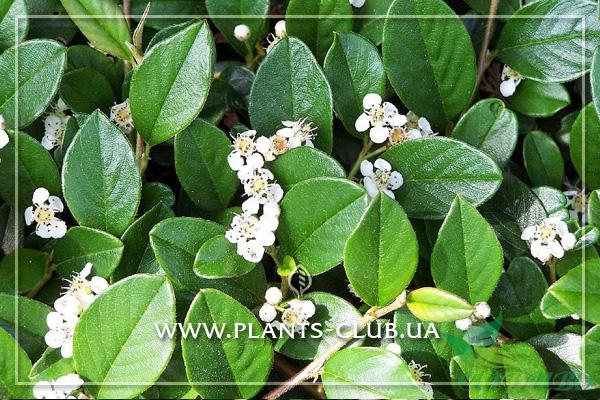 p-33923-cotoneaster-dameri-radicans-3.jpg