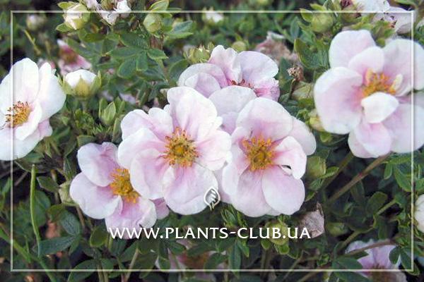 p-33974-potentilla_fruticosa_pretty_polly.jpg