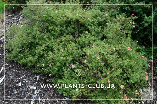 p-33974-potentilla_fruticosa_pretty_polly_3.jpg
