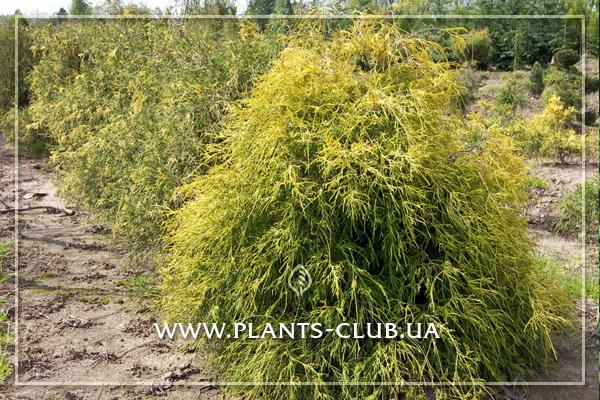 p-34358-chamaecyparis-pisifera-filifera-aurea-.jpg
