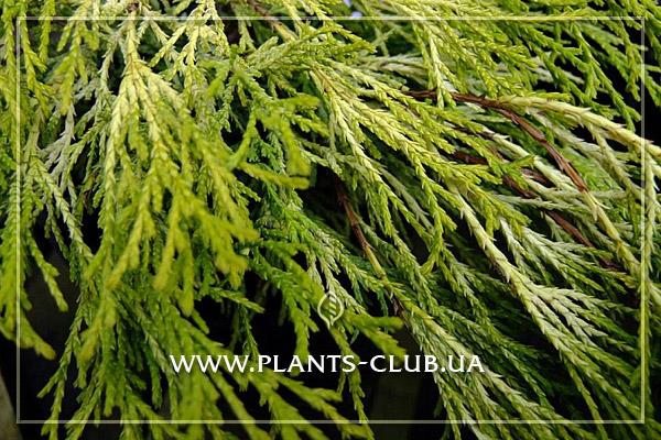 p-34358-chamaecyparis-pisifera-filifera-aurea-2.jpg