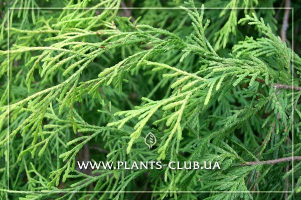 p-34358-chamaecyparis-pisifera-filifera-aurea-3.jpg