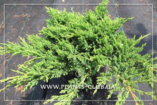 p-34372-juniperus-sabina-mas-2.jpg