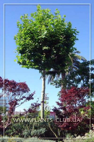 p-34410-platanus-acerifolia-umbrella_2.jpg
