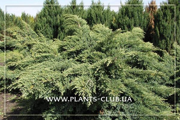 p-34427-juniperus-virginiana-hetz.jpg