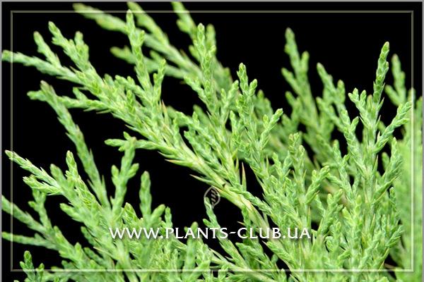 p-34427-juniperus-virginiana-hetz_2.jpg