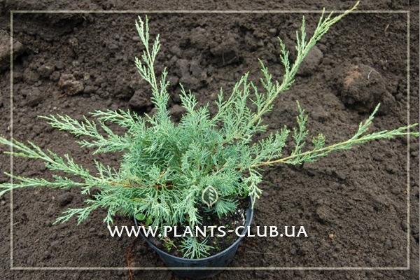 p-34427-juniperus-virginiana-hetz_3.jpg