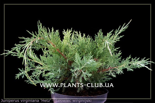 p-34427-juniperus-virginiana-hetz_5.jpg