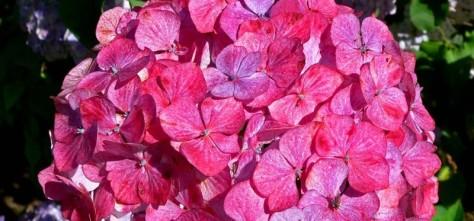 4469-Pink-Beauty-Hydrangea