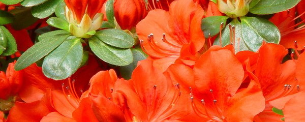 p-34963-azalea-japonica-geisha-orange1