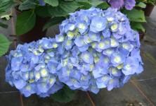 p-35268-hydrangea_macrophylla_bela_2