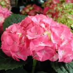 p-35277-hydrangea_paniculata_pink_beauty_