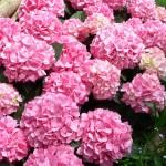 p-35277-hydrangea_pink_beauty