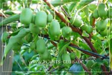p-35328-actinidia-arguta-issai-1
