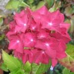 Hydrangea macrophylla Red Baron