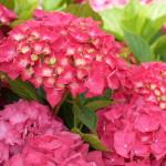 p-35427-masja-hydrangea-macrophylla-