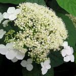 p-35434-hydrangea-paniculata-white-dome