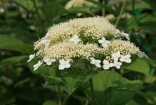 p-35434-hydrangea_paniculata_white_dome