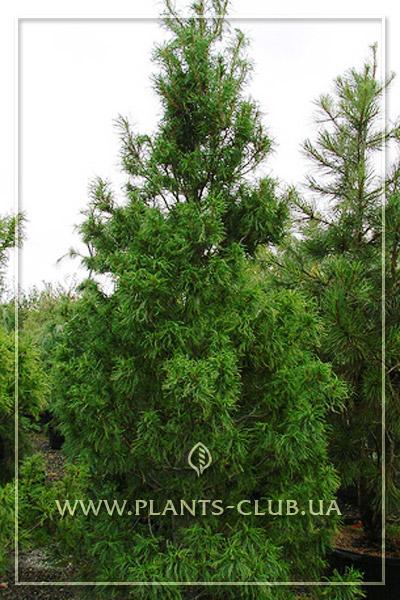 p-34328-pinus-strobus-torulosa1.jpg