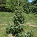 Picea omorika Bruns