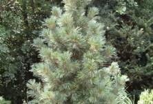 Pinus cembra Glauca Compacta