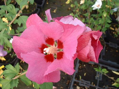 p-34541-hibiscussyriacuspinkgiant.jpg