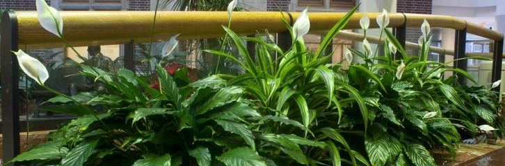 растения, офисе, уход, советы, польза, красота, декор, необходимость, горшки, вазоны