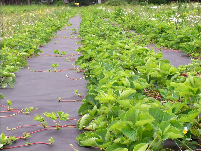 захист рослин, агроволокно, сад, догляд, защита растений, агроволокно, сад, уход