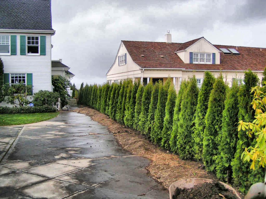 туя, как садить тую, декор туя, дизайн сада