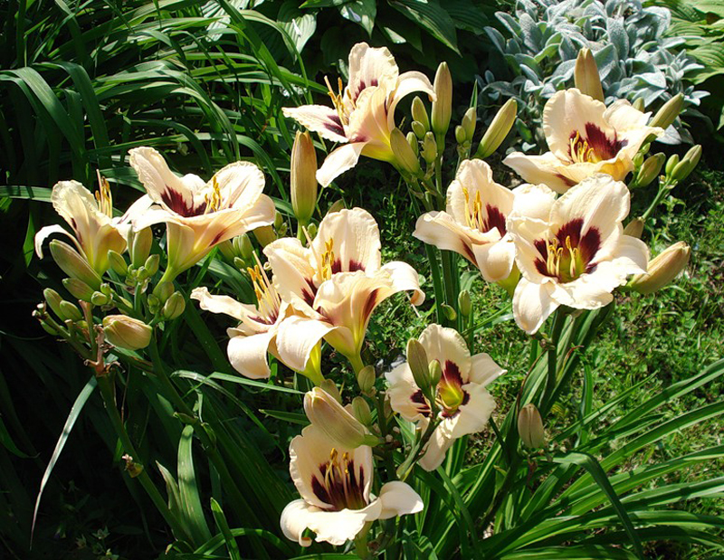 лілійник, квіти, рослини, сад, уход, декор, цветы, растения. аромат