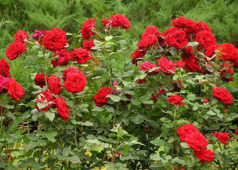 троянди, красивий сад, декор